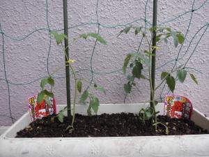 秋どりミニトマト